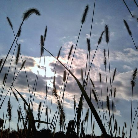 Amber waves of grain Sky Silhouette Cloud - Sky No People Nature Rural Scene Tranquility Beauty In Nature Plant Growth Outdoors Scenics Close-up EyeEmNewHere Beauty In Ordinary Things The Week On EyeEm First Eyeem Photo Extraordinary Nature Beauty In Nature Countryside Glamour Indiana