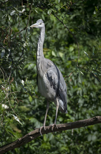 Heron Bird Animal Animal Themes Animal Wildlife Animals In The Wild Bird Branch Day Focus On Foreground Forest Gray Gray Heron Heron Nature No People One Animal Perching Plant Tree Vertebrate Water Bird