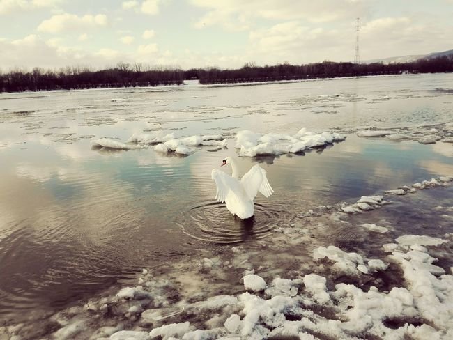 No People Animal Themes Bird Nature Animals In The Wild Water Reflection Animal Wildlife Beauty In Nature Lake Sky Floating On Water Outdoors Scenics Day Cold Temperature Swan winter