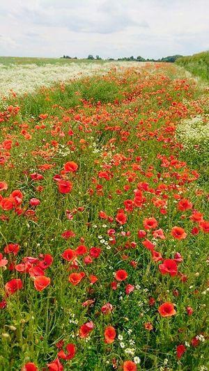 I Love Yorkshire Poppy Flowers Poppy Fields