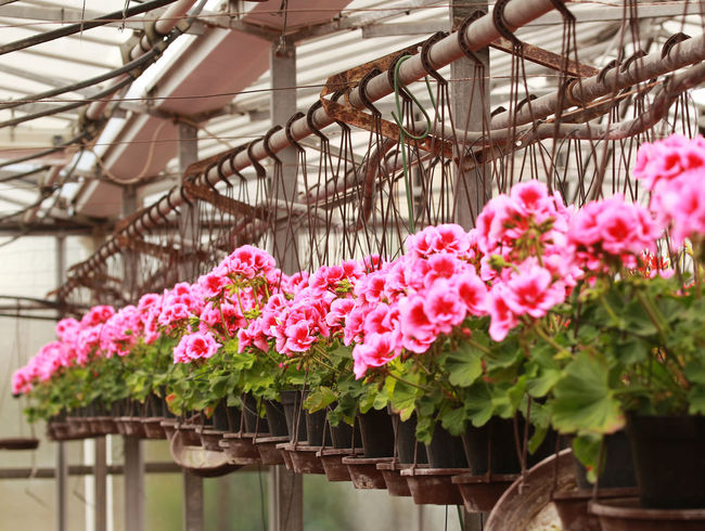 Ceriale Flower Fragility Freshness Geranium Geraniums Greenhouse Greenhouses Growth Hanging Hatchery Nature Pelargonium Perspective Pink Pink And Green Pink Flower Suspended Vases Vases For Flowers Cane Vivarium