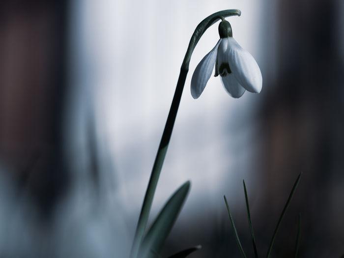 Snowdrop One
