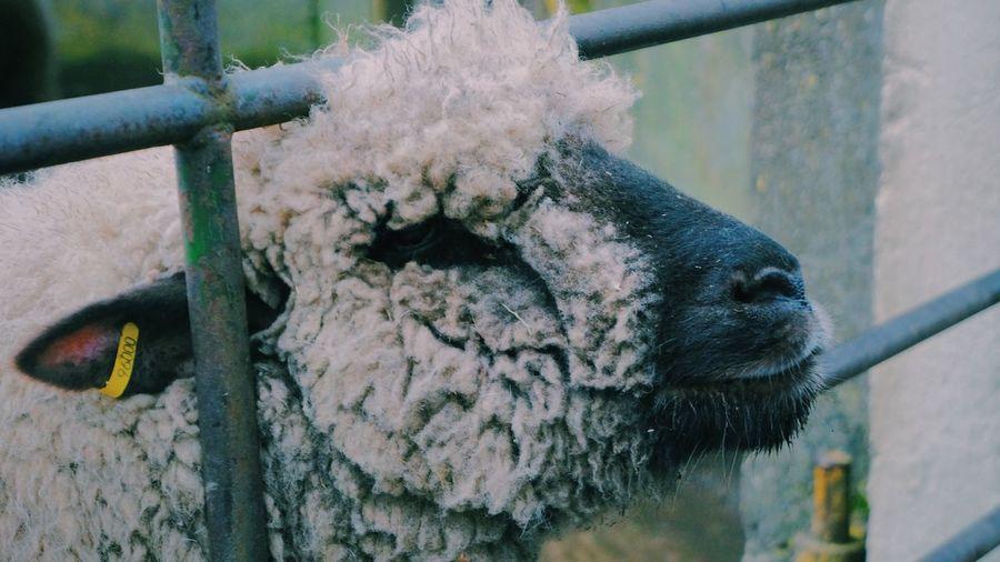 Farm Life Sheep Emotions Animals Angry Face Cuteness Imitation Loveanimals❤️ Peace ✌ Park