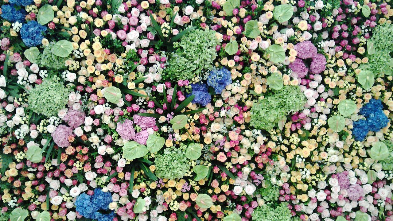 flower, green color, growth, nature, plant, leaf, beauty in nature, fragility, freshness, abundance, petal, outdoors, full frame, day, backgrounds, multi colored, no people, hydrangea, blooming, flower head, close-up, petunia