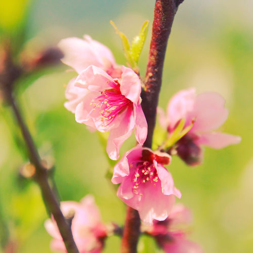 Flower Flowering Plant Fragility Plant Vulnerability  Pink Color Freshness Beauty In Nature Petal Growth Close-up Inflorescence Selective Focus Flower Head Nature No People Focus On Foreground Blossom Day Botany Pollen Outdoors Springtime Cherry Blossom Spring Japan