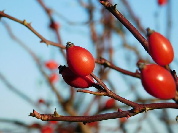 Close-up Red Focus On Foreground Nature Branch Beauty In Nature Eyeem Market EyeEm Nature Lover Nature Photography EyeEm Gallery WinterSeason Cold Temperature Eyeem Photography EyeEm Macro Lover Macro_collection EyeEm Macro Macro Photography Macro Beauty Winterlovers Winteriscoming Macro Wintertime Rose Hip