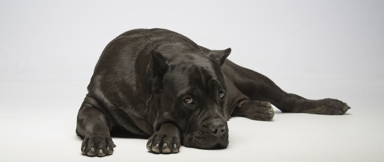 Looking At Camera Animal Themes Cane Corso Close-up Day Dog Domestic Animals Lying Down Mammal No People One Animal Pets Studio Shot White Background