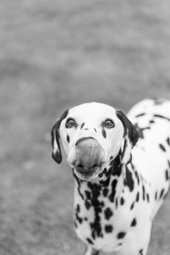 Close-Up Portrait Of Dalmatian Dog On Field