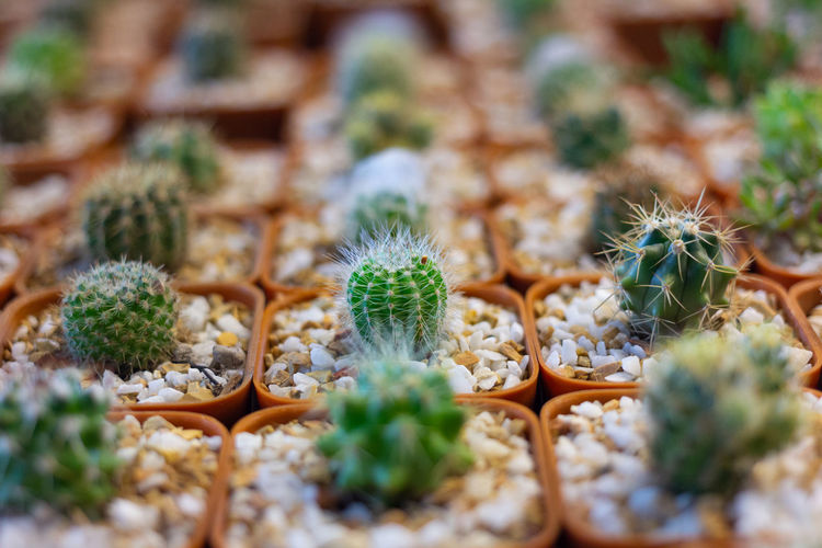 Small green cactus and gravel in pot with collection of blurred cactus background. selective focus