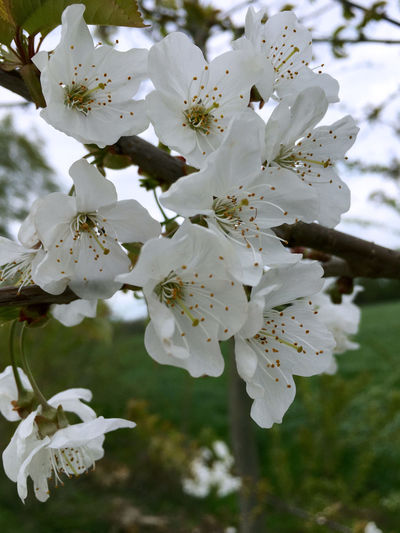 White blossoming bird cherry in spring Beauty In Nature Bird Cherry Tree Blossom Blossoming Bird Cherry Botany Branch Close-up Day Flower Flower Head Focus On Foreground Fragility Freshness Growth Nature No People Orchard Petal Plum Blossom Pollen Springtime Stamen Tree Twig White Color