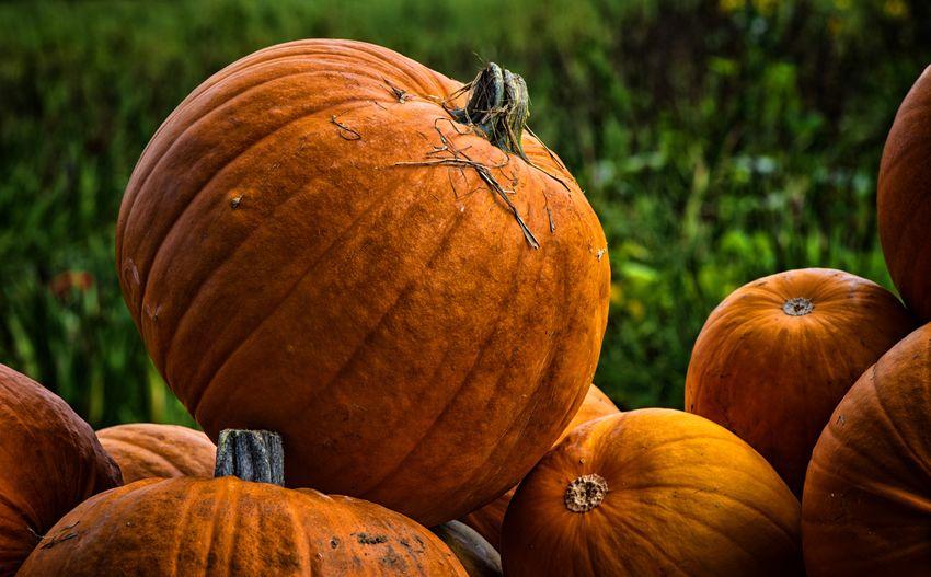Close-up of pumpkins on land