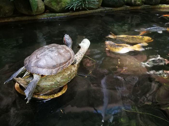 Turtle Meditation Turtles One Utama Natural Animals In The Wild