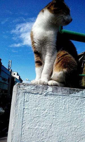 Mammal Outdoors One Animal Sky No People Day Animal Wildlife Animal Themes City cat Street Street Cat Big Cat Fat Cat Is So FAT! Cat Model Cute Pets Cute Cat 😻 Urban Cat