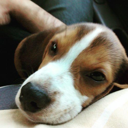 Curtindo uma viagem do melhor jeito. Darwin Beagle Beagleworld My_dog_beagle