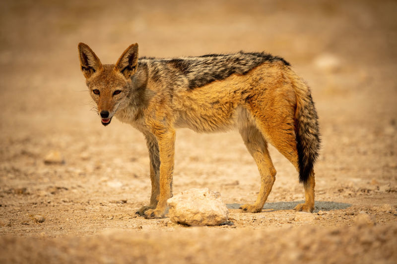 Black-backed jackal stands lowering head on gravel