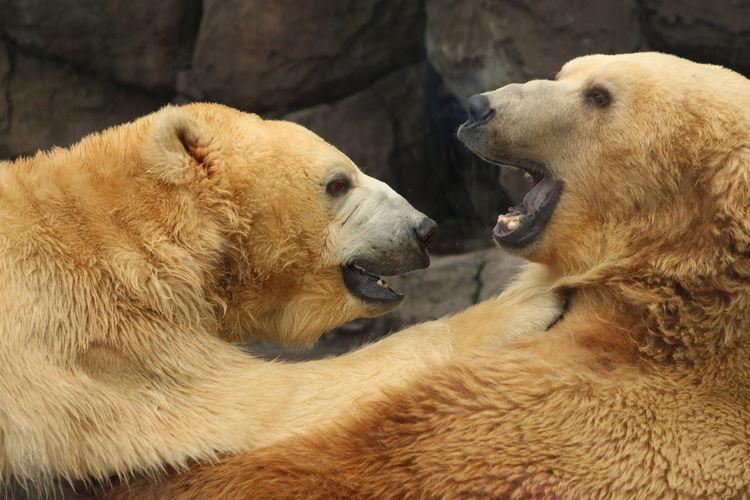 Close-Up Of Polar Bears At Zoo