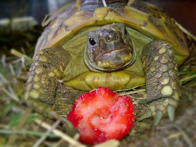 turtle Food Strawberry Strawberries Animal_collection Animals Turtle Love Turtles Turtle Animal For My Friends That Connect