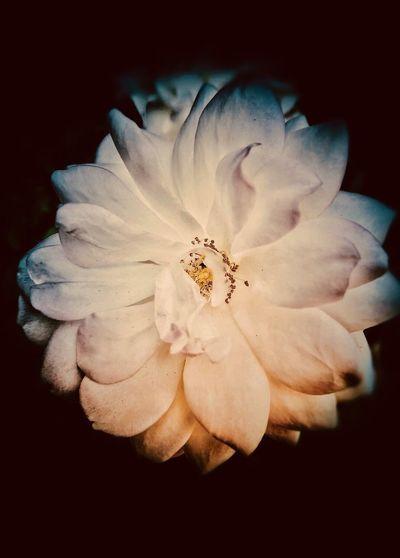 Flower 2 Flowering Plant Flower Fragility Vulnerability  Petal Flower Head Plant