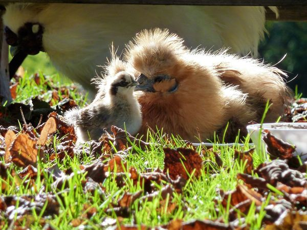 Silk Chicken Family Chicken Family Animal Themes Bird Close-up Domestic Animals Grass Nature No People Outdoors Young Animal Young Bird