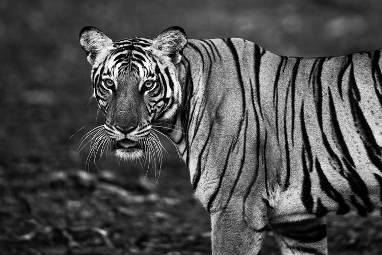 Portrait of a wild tiger from the jungles of Kabini, India. Animal Portrait Animal Themes Animal Wildlife Animals In The Wild Black & White Blackandwhite Close-up Day India Indian Indian Wildlife Mammal My Year My View Nature No People One Animal Outdoors Safari Animals Telephoto Tiger Tiger Portrait Tigers Wild Tiger Wildlife Wildlife & Nature