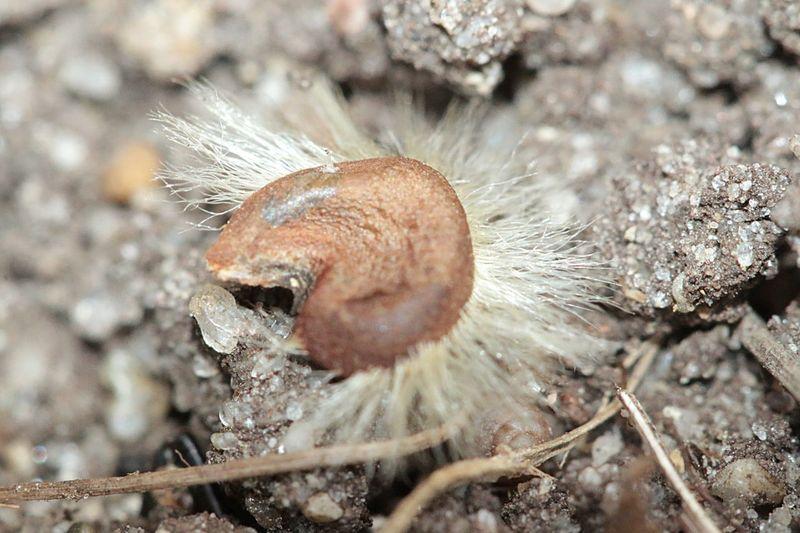 Macro Makro Seed Seeds Samen Hibiscus Hibiskussamen Hibiscus Seed Nature_collection Nature Taking Photos Closeupshot Close Up
