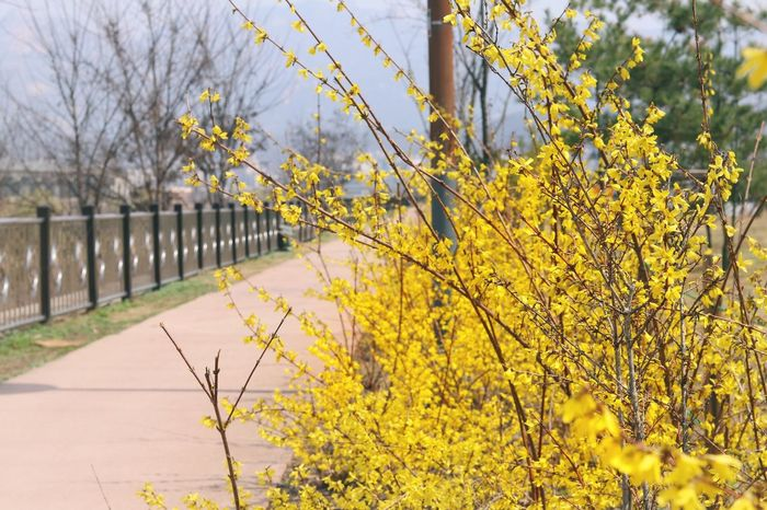 Yellow Flower Beauty In Nature Forsythia Nature No People Outdoors Freshness Trail Eyem Nature Lovers  Eyemphotography Eyem Gallery Spring Blooming Beauty In Nature Canon Canonphotography Canon77d