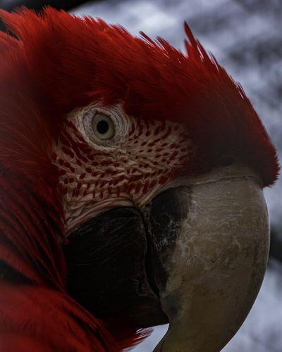 Red parrot Animal Bird Ara Red Parrot Parrot