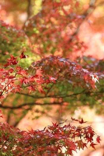 日本 Japan 日本の風景 風景 自然 絶景 カメラ好き 写真好き 写真 EyeEm Best Shots EyeEm Nature Lover EyeEm Best Shots - Nature EyeEm Gallery 紅葉 もみじ Tree Flower Branch Beauty Autumn Red Defocused Leaf Multi Colored Close-up