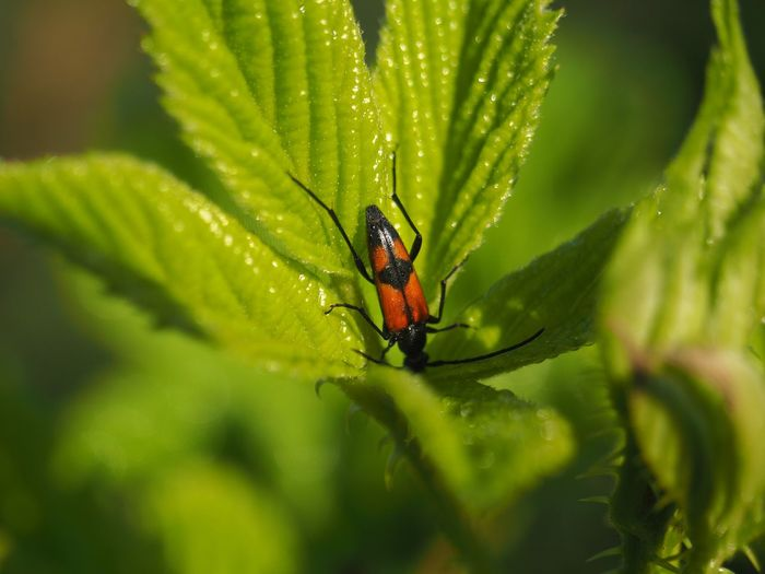 Olympus Poland Animal Animal Themes Animal Wildlife Animals In The Wild Beauty In Nature Beetle Close-up Day Green Color Growth Insect Invertebrate Leaf Nature No People One Animal Outdoors Plant Plant Part Selective Focus
