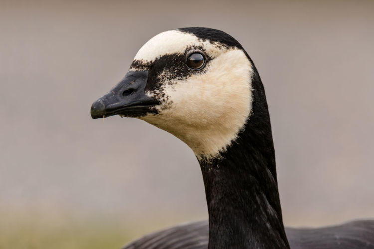 barnacle goose portrait Low Angle View Animal Animal Body Part Animal Eye Animal Head  Animal Neck Animal Themes Animal Wildlife Animals In The Wild Barnacle Goose Beak Bird Close-up Day Focus On Foreground Goose Looking Looking Away Nature No People One Animal Portrait Profile View Side View Vertebrate