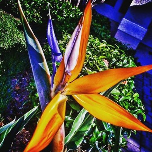 Bird of Paradise (remake of a 2010 Facebook photo) Mobilephotography Flowers Fontyard Gardening colors
