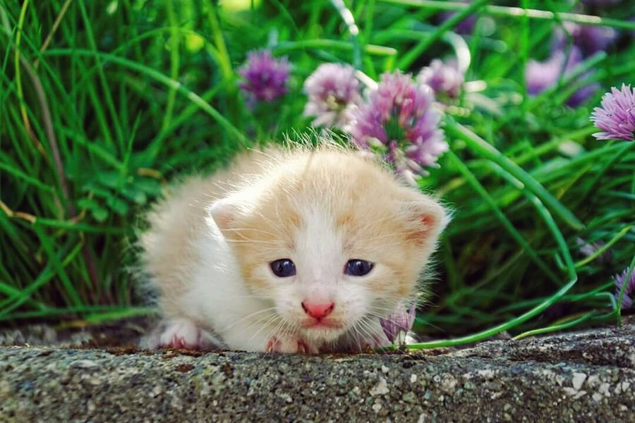kitty #Ginger #pet #AnimalLove #grass #Nature  #summer #pinknose Yellowcat Portrait Pets Looking At Camera Domestic Cat Flower Cute Feline Whisker Beauty Close-up Kitten Young Animal Infant