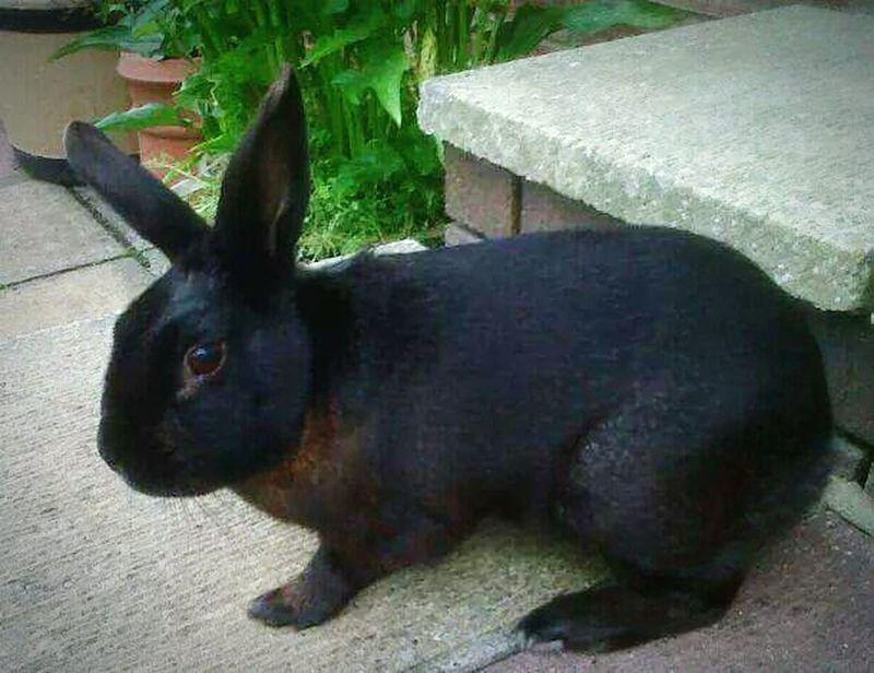 Rabbit Animal Cutenessoverload Buck Boy Passed Pets Mammal Outdoors Loved Midnight Black Bunny  Bunny Ears