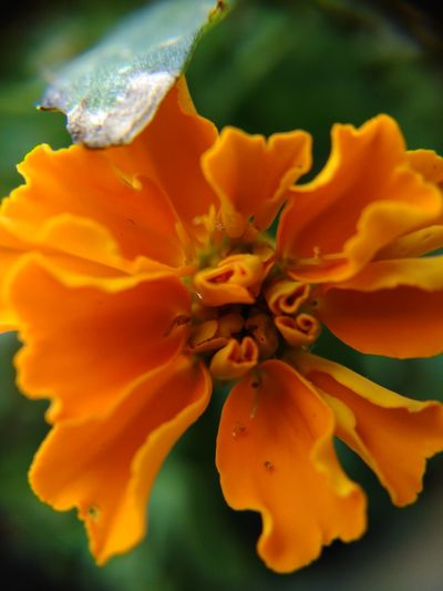 Vibrant orange merigold Close-up No People Flower Nature Beauty In Nature Day Outdoors Textured  Plant Growth Floral