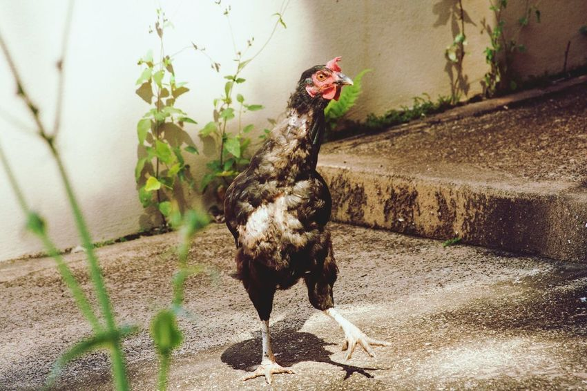 Chicken Nature Suspicious Senhora Do Carmo