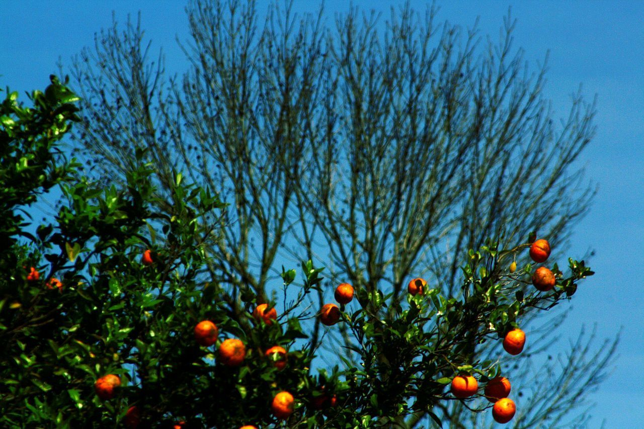 fruit, orange - fruit, tree, orange tree, citrus fruit, food and drink, low angle view, orange color, freshness, food, healthy eating, no people, growth, outdoors, nature, day, sky, branch, beauty in nature, close-up