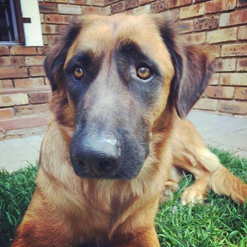 Zeus waiting for his nom noms Ridgeback cross Germanshepherd GSD Zeus Puppy Braai BBQ Southafrica