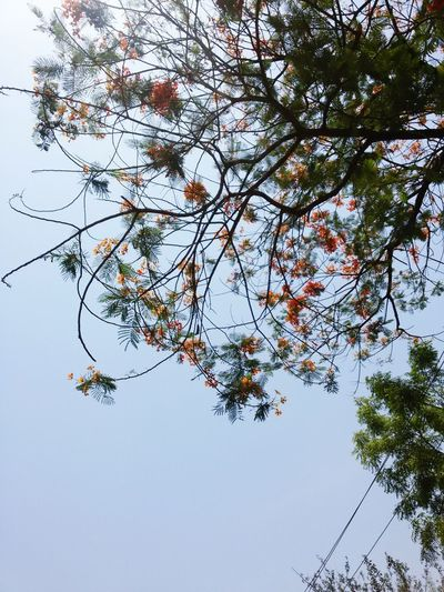 Relaxing Taking Photos Check This Out Enjoying Life Tree Trees Tree And Sky Trees And Sky Tree Branches Trees And Nature Trees And Sun Trees In Bloom Treescape Treesandsky Trees In Blossom Trees #leaves #sunlight #warm Color Trees! Treescapes Tree Art Gulmohar Gulmohar_tree_of_love_n_life