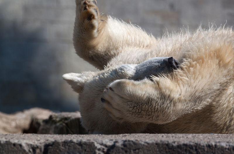 Polar Bear Lying On Concrete At Zoo