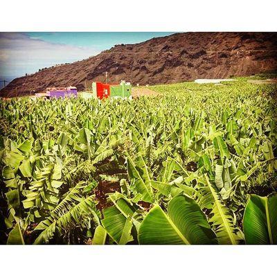 Laislabonita LaPalma Islabonita Islandlife Plantation Banana Agriculture Green Farming Canarias