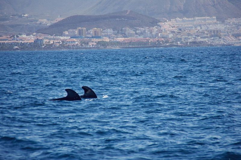 Pilot Whales in Tenerife. Animals Boat Canary Islands Nature Nature's Diversities Ocean Pilot Whales Sailing Sea SPAIN Spring Tenerife Water Whale Watching Whales Wildlife The Great Outdoors - 2016 EyeEm Awards