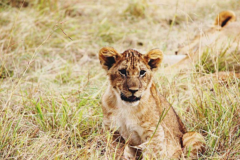 Wildlife Lion