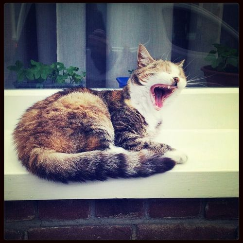 I'm a shark! Cats Stopping Time Yawning Cat Sharkycat