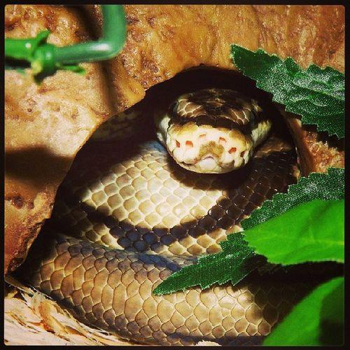 JackTheRipper Reptilesofinstagram Spiderballpython Snek snakeface ballpython