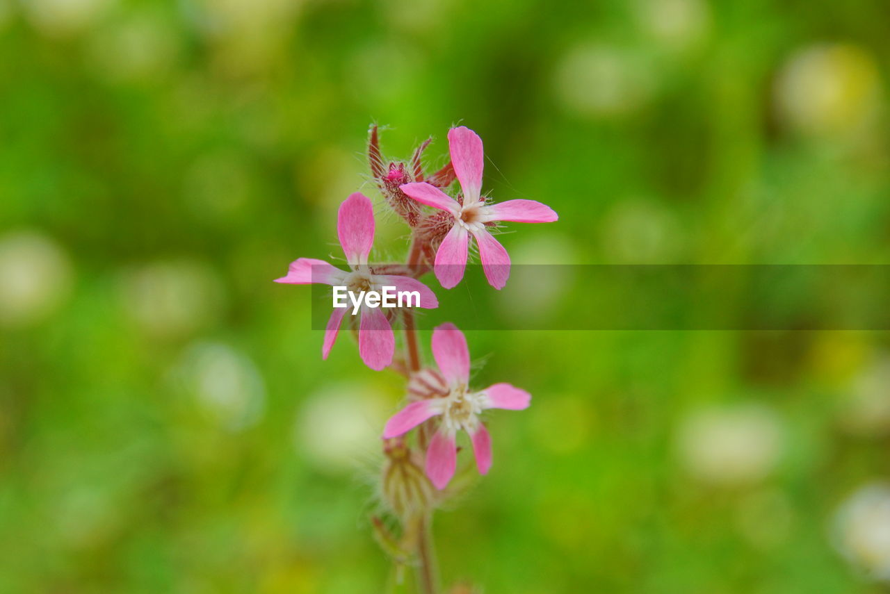 flowering plant, flower, fragility, vulnerability, freshness, beauty in nature, plant, petal, pink color, close-up, growth, flower head, inflorescence, focus on foreground, day, no people, nature, selective focus, outdoors, botany