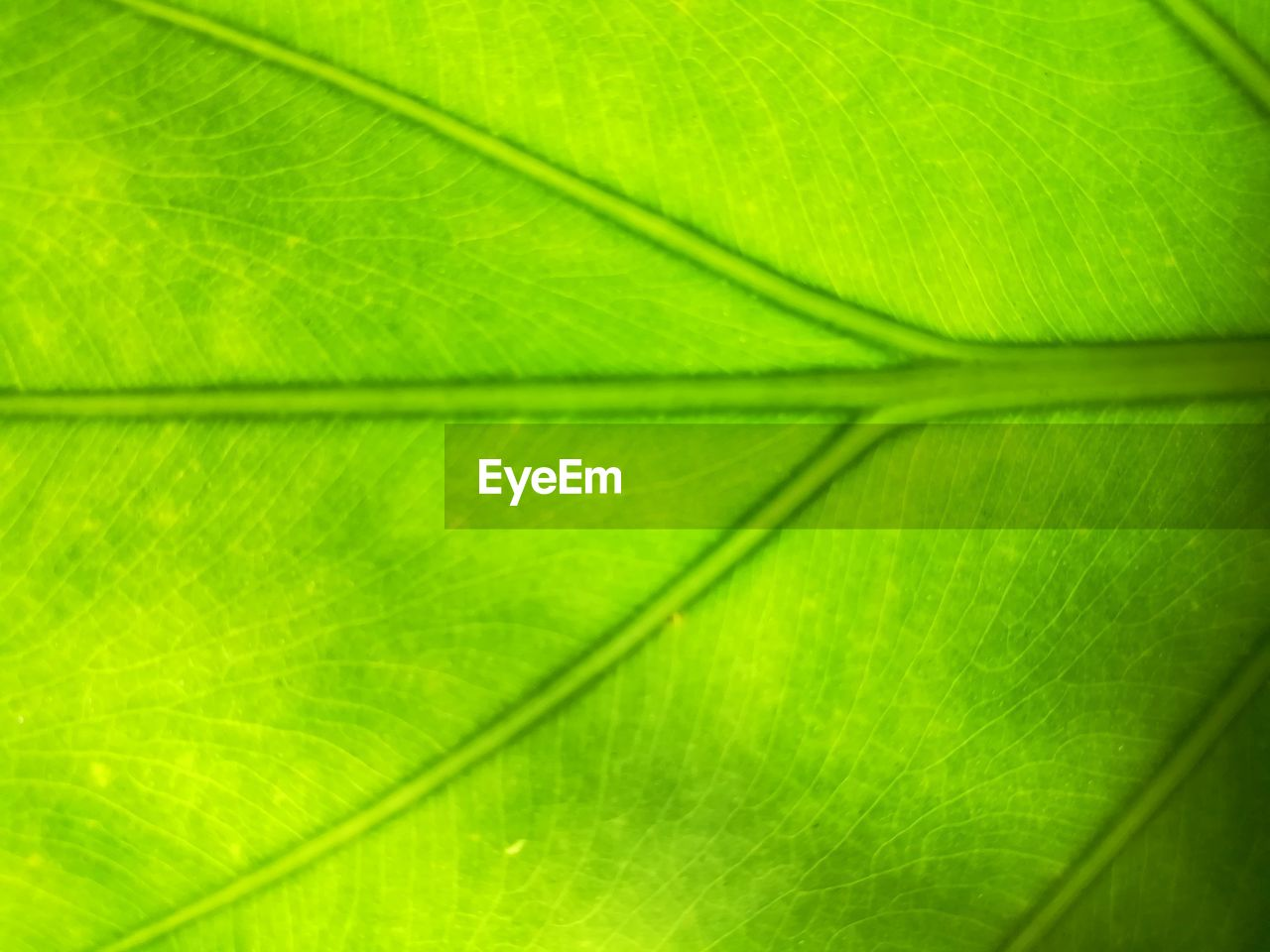 plant part, leaf, backgrounds, green color, full frame, close-up, leaf vein, plant, beauty in nature, nature, no people, freshness, natural pattern, pattern, growth, macro, textured, botany, day, outdoors, leaves, palm leaf, focus, brightly lit, textured effect