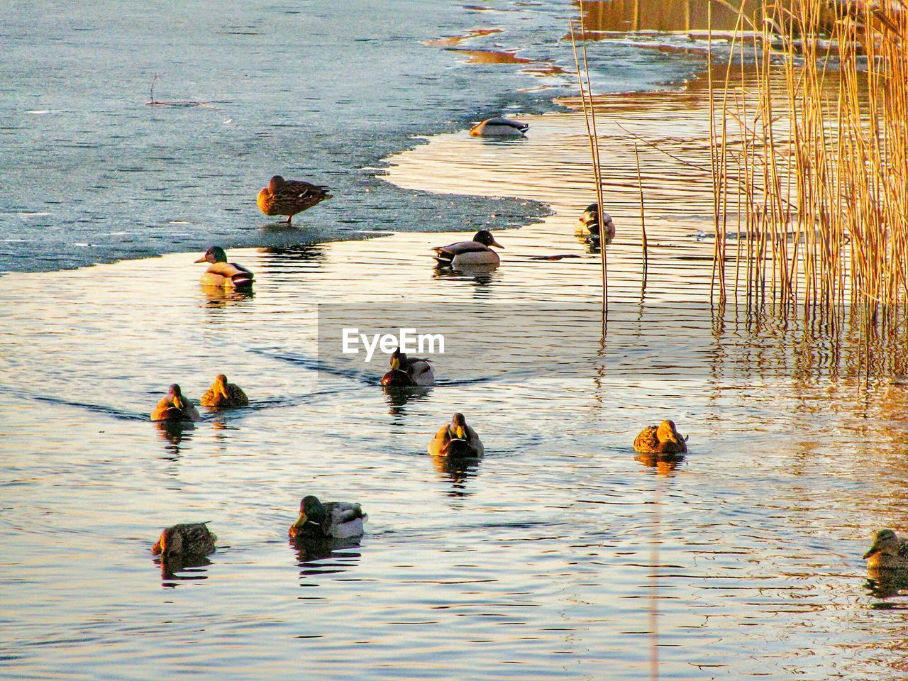 animal themes, group of animals, animal, animals in the wild, animal wildlife, bird, swimming, water, vertebrate, high angle view, lake, no people, duck, day, nature, poultry, waterfront, large group of animals, outdoors, floating on water