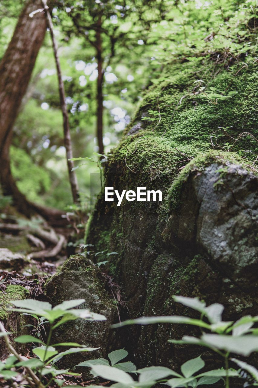 plant, tree, forest, growth, land, nature, green color, tranquility, moss, day, no people, tree trunk, plant part, trunk, beauty in nature, leaf, close-up, selective focus, focus on foreground, outdoors, woodland, bark, rainforest