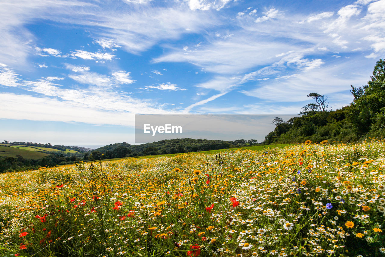 SCENIC VIEW OF FLOWERING FIELD AGAINST SKY