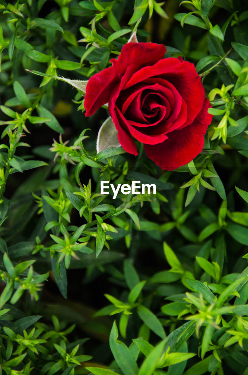 rose - flower, flower, red, petal, nature, plant, beauty in nature, fragility, growth, flower head, leaf, green color, freshness, no people, blooming, close-up, outdoors, day